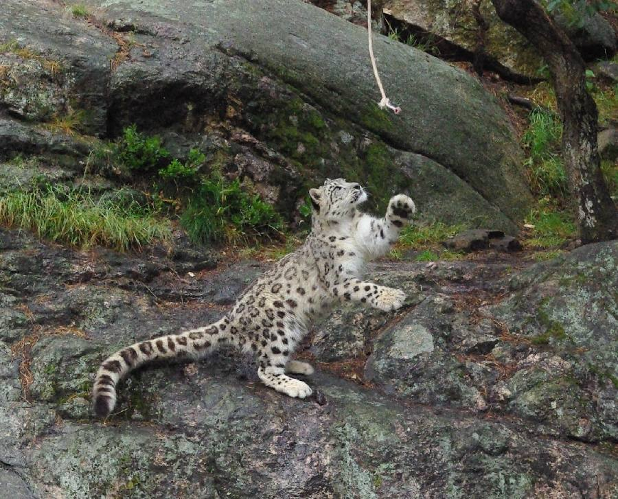 Playful snow leopard cub