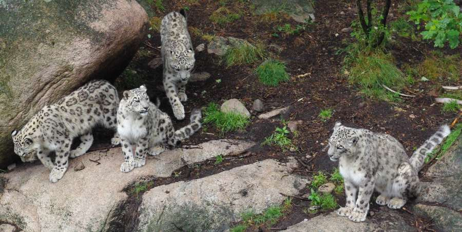 Snow leopard family. Minus one member.