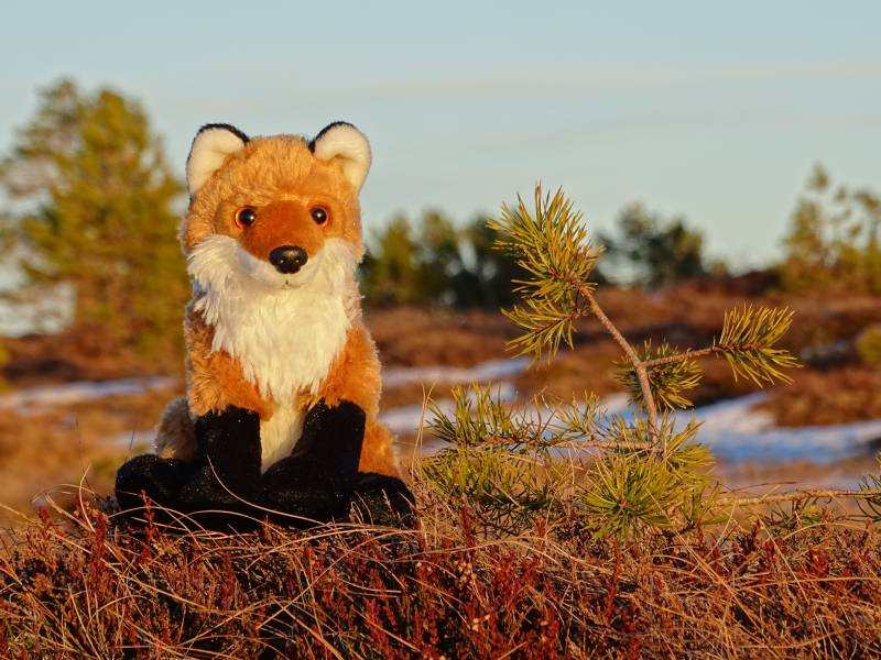 Plush fox at sunset!