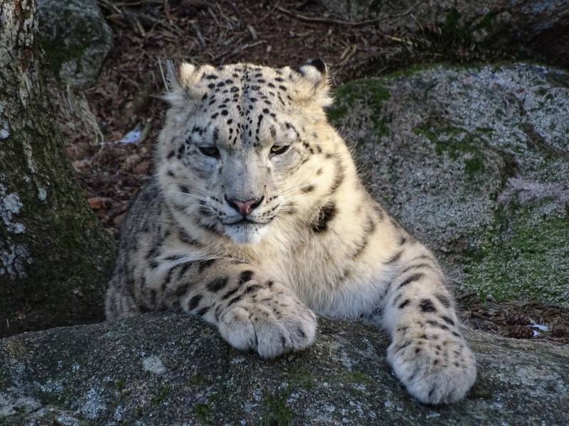 Low-key snow leopard